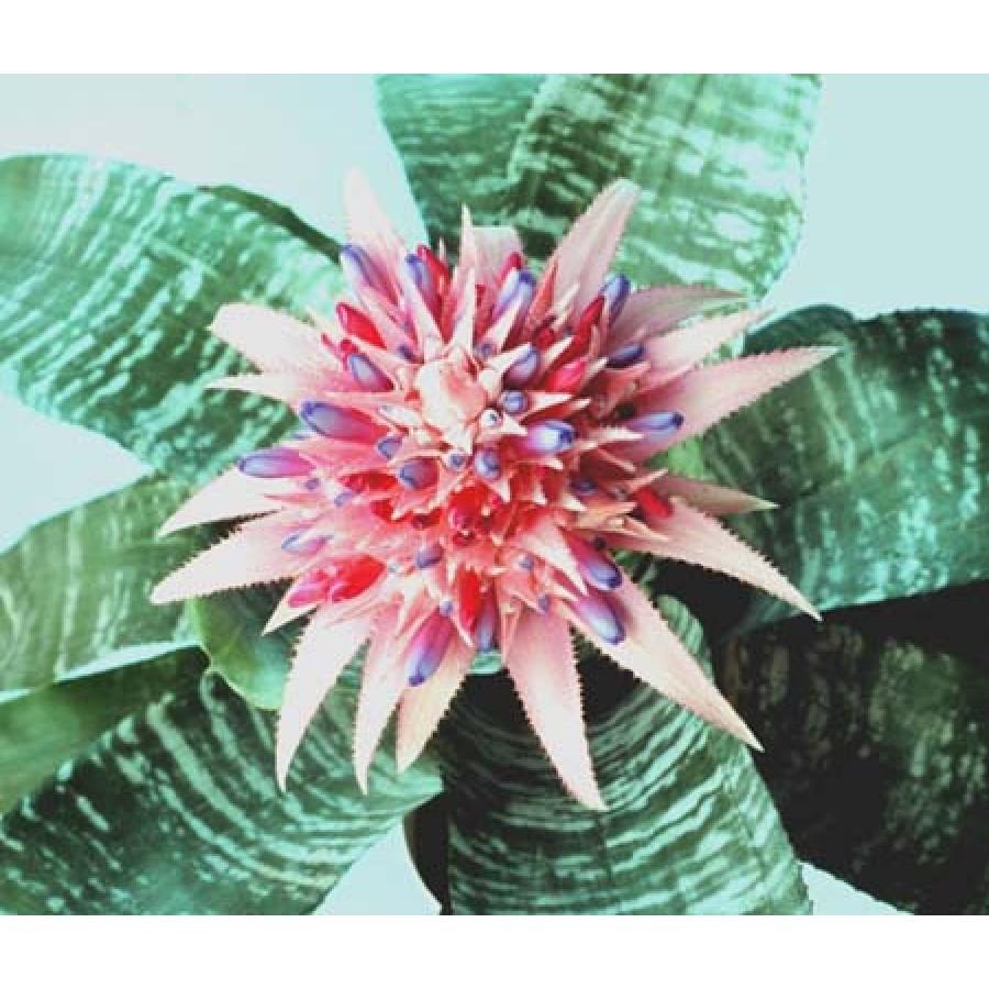 райское настроение: комнатное растение виена